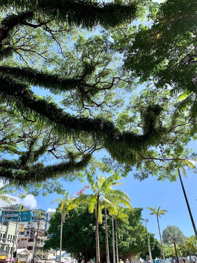 ケアンズの木